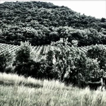 Weingärten / Wien